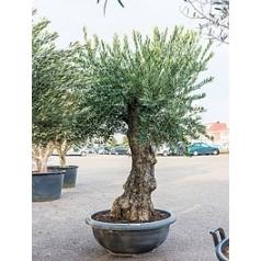 Олива европейская стебель extra Диаметр горшка — 90 см Высота растения — 210 см