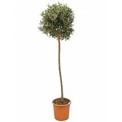 Олива европейская стебель Диаметр горшка — 26 см Высота растения — 150 см