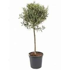 Олива европейская стебель Диаметр горшка — 30 см Высота растения — 120 см