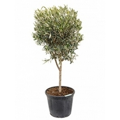Олива европейская стебель Диаметр горшка — 40 см Высота растения — 130 см