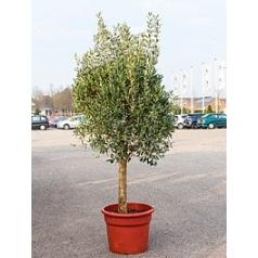 Олива европейская стебель Диаметр горшка — 50 см Высота растения — 200 см