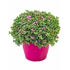 Оскулария гвоздичноцветная куст Диаметр горшка — 25 см Высота растения — 40 см