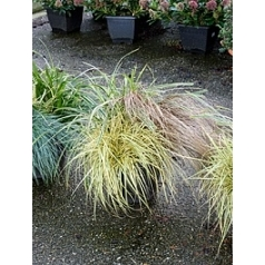 Растения ziergraser 3pp mixed Диаметр горшка — 30 см Высота растения — 60 см