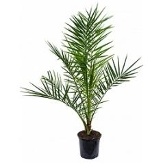 Финиковая пальма canariensis стебель Диаметр горшка — 19 см Высота растения — 85 см