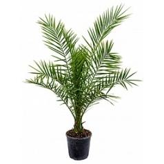 Финиковая пальма canariensis стебель Диаметр горшка — 24 см Высота растения — 140 см