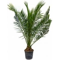 Финиковая пальма canariensis стебель Диаметр горшка — 30 см Высота растения — 170 см