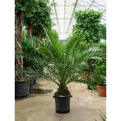 Финиковая пальма canariensis стебель Диаметр горшка — 35 см Высота растения — 180 см