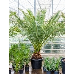 Финиковая пальма canariensis стебель Диаметр горшка — 50 см Высота растения — 250 см