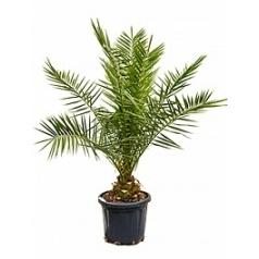 Финиковая пальма canariensis стебель Диаметр горшка — 38 см Высота растения — 160 см