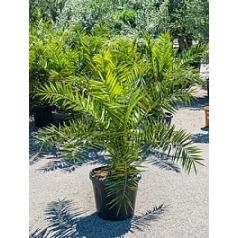 Финиковая пальма canariensis стебель Диаметр горшка — 35 см Высота растения — 140 см