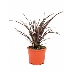 Формиум лилейниковый куст Диаметр горшка — 17 см Высота растения — 45 см