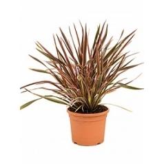 Формиум sundowner куст Диаметр горшка — 27 см Высота растения — 75 см