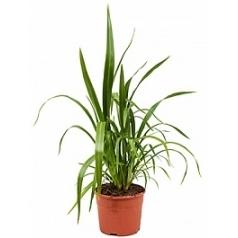 Формиум tenax куст Диаметр горшка — 17 см Высота растения — 55 см