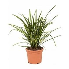 Формиум tenax куст Диаметр горшка — 27 см Высота растения — 75 см