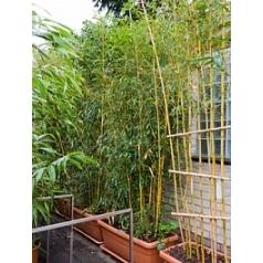 Филлостахис бамбуковый spectabillis multi стебель Диаметр горшка — 90/45 см Высота растения — 260 см