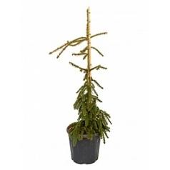 Пихта inversa куст Диаметр горшка — 35 см Высота растения — 150 см