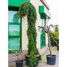 Пихта inversa куст Диаметр горшка — 80 см Высота растения — 360 см