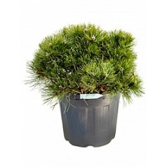Ель сербская nana куст Диаметр горшка — 40 см Высота растения — 75 см