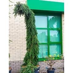 Ель сербская pendula куст Диаметр горшка — 80 см Высота растения — 340 см