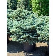 Ель голубая globosa куст (70-80) Диаметр горшка — 40 см Высота растения — 80 см