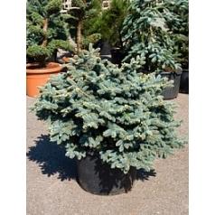 Ель голубая globosa куст (90-100) Диаметр горшка — 50 см Высота растения — 100 см
