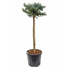 Ель голубая globosa стебель-крона (o35-40) Диаметр горшка — 33 см Высота растения — 140 см