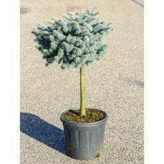 Ель голубая globosa стебель/крона (h40/o40) Диаметр горшка — 35 см Высота растения — 105 см