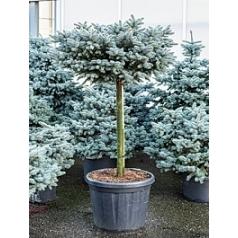 Ель голубая globosa стебель/крона (h80/o90) Диаметр горшка — 60 см Высота растения — 170 см