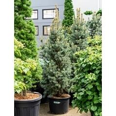 Picea pungens iseli fastigiate куст (150-170) Диаметр горшка — 40 см Высота растения — 200 см