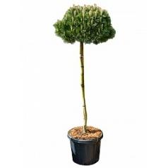Сосна чёрная «Брепо» стебель/крона Диаметр горшка — 35 см Высота растения — 170 см