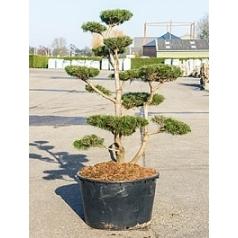 Ель скрученная бонсай (220-250) Диаметр горшка — 95 см Высота растения — 250 см