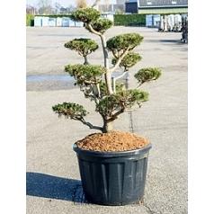Ель скрученная бонсай Диаметр горшка — 80 см Высота растения — 180 см