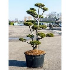 Ель скрученная бонсай Диаметр горшка — 95 см Высота растения — 260 см