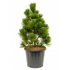 Сосна белокорная malinki куст Диаметр горшка — 35 см Высота растения — 100 см
