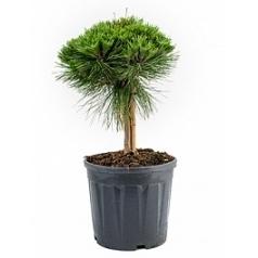 Сосна чёрная «Мария Брегон» стебель/крона Диаметр горшка — 25 см Высота растения — 80 см