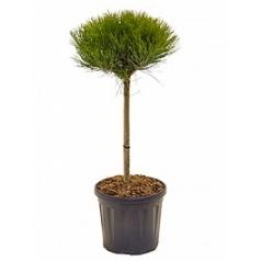 Сосна чёрная «Мария Брегон» стебель/крона Диаметр горшка — 26 см Высота растения — 70 см