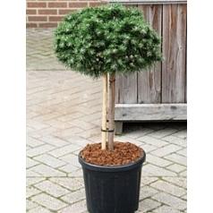 Сосна горная «Бенджамин» стебель/крона Диаметр горшка — 30 см Высота растения — 90 см