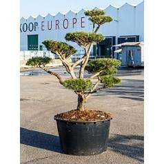 Сосна низкая бонсай Диаметр горшка — 95 см Высота растения — 220 см
