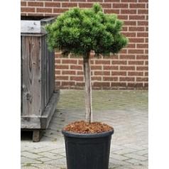 Сосна низкая carstens wintergold стебель/крона Диаметр горшка — 30 см Высота растения — 100 см