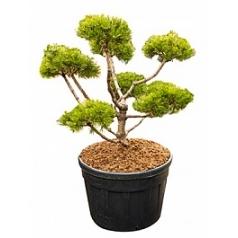 Сосна низкая «Гном» бонсай Диаметр горшка — 80 см Высота растения — 160 см