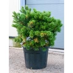Сосна низкая «Гном» куст Диаметр горшка — 55 см Высота растения — 110 см
