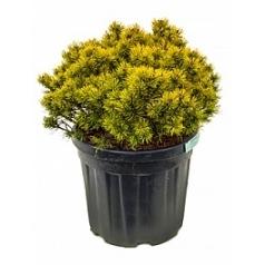 Сосна низкая «Опхир» куст Диаметр горшка — 33 см Высота растения — 60 см