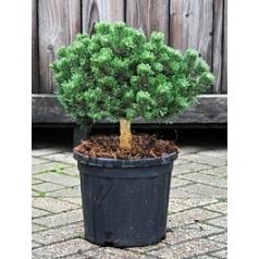 Сосна низкая «Шервуд» compact куст Диаметр горшка — 25 см Высота растения — 45 см