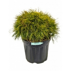 Сосна низкая «Варелла» куст Диаметр горшка — 32 см Высота растения — 55 см