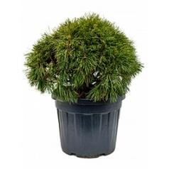 Сосна низкая «Варелла» куст Диаметр горшка — 47 см Высота растения — 80 см