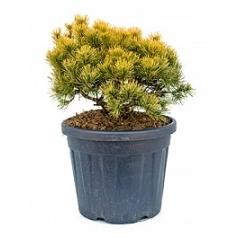 Сосна низкая «Витнер Голд» куст Диаметр горшка — 40 см Высота растения — 70 см