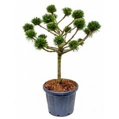 Сосна чёрная «Брепо» pon-pon Диаметр горшка — 40 см Высота растения — 130 см