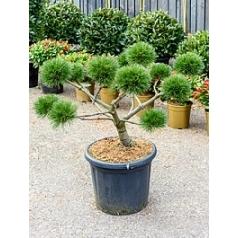 Сосна чёрная «Брепо» pon-pon Диаметр горшка — 44 см Высота растения — 95 см
