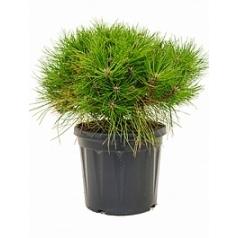 Сосна чёрная «Брепо» стебель/крона Диаметр горшка — 35 см Высота растения — 95 см