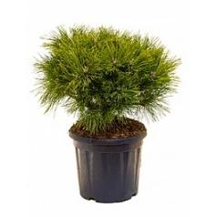 Сосна чёрная «Брепо» стебель/крона Диаметр горшка — 32 см Высота растения — 70 см